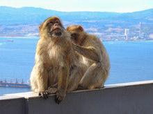 Barbary Monkey Being Groomed