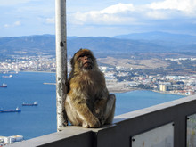 Furry Barbary Monkey On A Ledg...