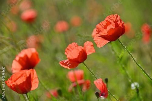 fototapeta na ścianę Red poppy flowers in sunset green field