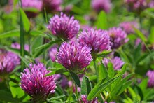 Close Up Purple Clover Flowers In Green Grass