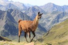 Lama Dans Les Pyrénées