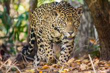Jaguar Walking In Forest