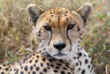 Proud Cheetah Overlooking Its ...