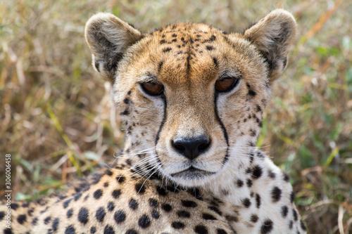 Fotografia Proud cheetah overlooking its neighborhood at Serengeti National Park, Tanzania, Africa
