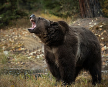 Grizzly Bear Bruno In Fall Col...