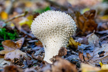 Lycoperdon Perlatum Fungi, Also Known As The Common Puffball, Warted Puffball, Gem-studded Puffball, Or The Devil's Snuff-box