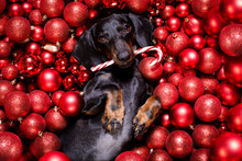 Christmas Santa Claus Dog And Xmas Balls Or Baubles As Background