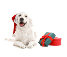 Cute Funny Dog In Santa Hat And With Christmas Gifts On White Background
