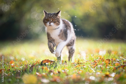 tabby white british shorthair cat running on grass with autumn leaves in the sunlight outdoors in nature wearing anti flea and tick collar