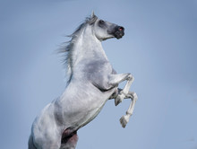 White Andalusian Horse Rearing...