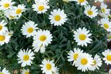 Fototapeta Kwiaty - Kwiaty Margaretki