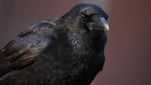Close Up Of Raven Crow Head Lo...