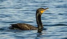 Cormorant In King's Bay Florida