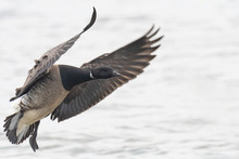 A Brant Goose Coming In For A ...