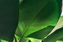 Close Up Tropical Leaf Texture...