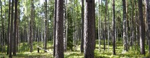 Panoramic Photo. Bright, Rich, Green Summer (spring) Forest. A Lot Of Thin Tree Trunks.