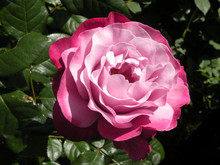 Two - Tone Perfect Rose