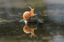 Snail Above The Frog's Head
