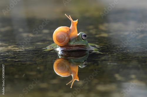 Fototapeta snail above the frog's head obraz