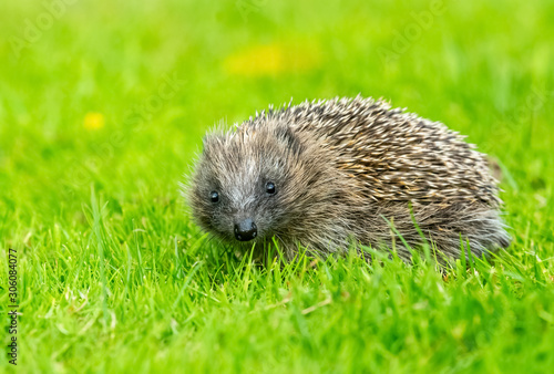 Fotografía  Hedgehog, wild, native, European hedgehog, facing forward  on green grass lawn