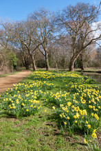 Daffodils In Bloom Along The I...