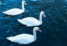 Three White Swans  Floating On...