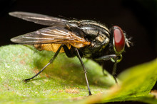 MACRO CLOSEUP SHOT OF HOUSE FLY