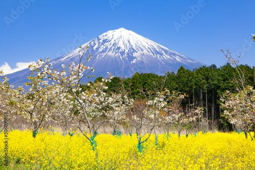 Fotomural 富士山と桜と菜の花、静岡県富士宮市にて