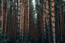 Dense Coniferous Forest In Summer
