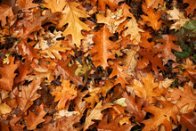 Many Autumn Leaves On Ground