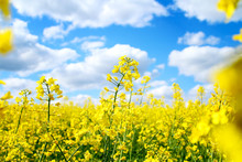 Blooming Rapeseed Field Of Ukr...