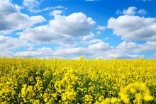 Blooming Rapeseed Field Of Ukraine Against The Blue Sky With Clouds