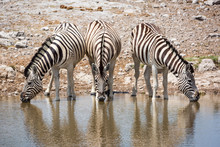 Three Zebras Standing Side By Side At A Waterhole, Drinking Water, Etosha, Namibia, Africa