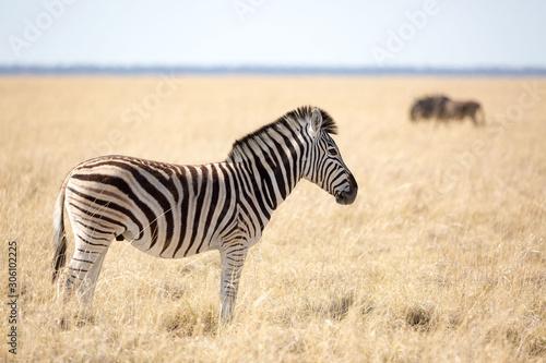 Fototapety, obrazy: Zebra standing in dry grassland, Etosha, Namibia, Africa