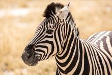 Close Up Of A Zebra, Etosha, N...