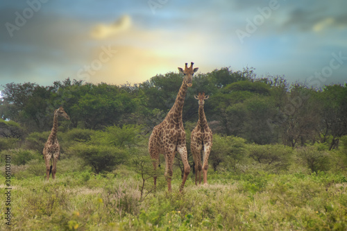 giraffe in africa Canvas Print