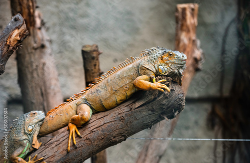 Fotomural  Green iguana on the tree is watching the environment.