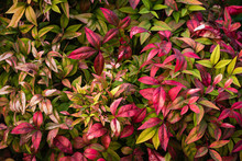 Close Up View Of Foliaage Red Pink Nandina Domestica. Use As Background Wallpaper.