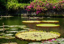 Giant Water Lily Pads Floating On Water