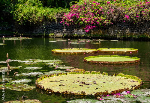 Giant water lily pads floating on water Canvas-taulu