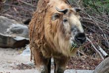 Takin In A Zoo In Berlin (germ...
