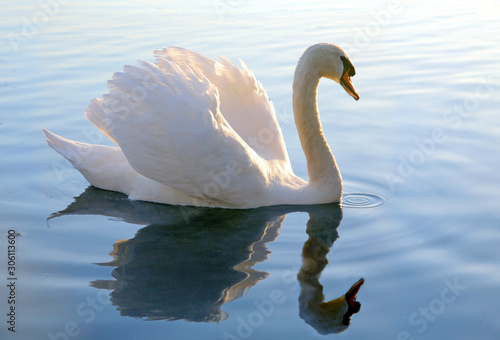 Fotografie, Obraz graceful swan