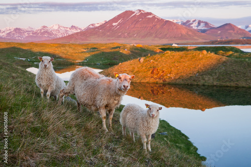 an adult sheep and two lambs in iceland in the evening Canvas Print