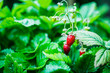 canvas print picture - Red ripe wild strawberry on plant in the forest. Selective focus. Shallow depth of field.