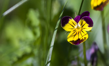 Art Photo Of A Wild Pansy (viola) In The Background Of A Green Garden Blurred Background.Viola Cornuta, Horned Pansy, Tufted Pansy.