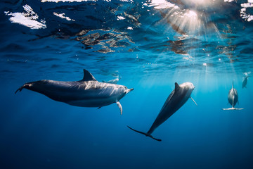 Fototapeta Delfin Pod of Spinner dolphins underwater in blue sea with sun light