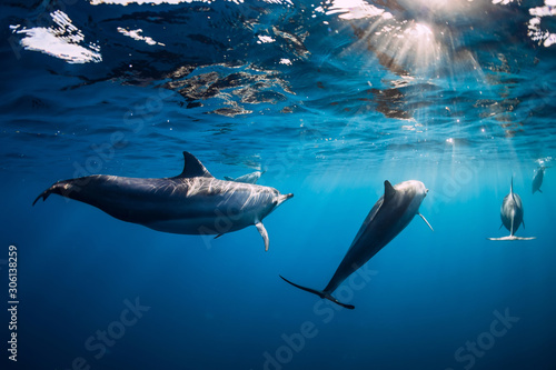 Pod of Spinner dolphins underwater in blue sea with sun light - 306138259