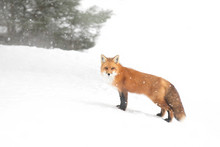 Red Fox (Vulpes Vulpes) With A Bushy Tail And Orange Fur Coat Isolated On White Background Hunting In The Freshly Fallen Snow In Algonquin Park, Canada