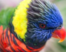 Head Plumage Of A Rainbow Lorikeet