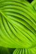 canvas print picture - Big green leaf close-up texture, bright nature